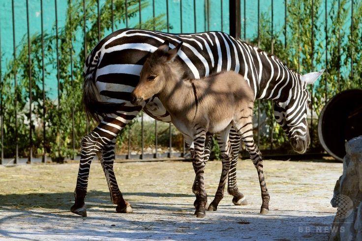 クリミア(Crimea)自治共和国の南部にある「サファリパーク・タイガン(Safari Park Taigan)」でこのほど誕生した、雌シマウマと雄ロバの間に生まれた交雑種(ゼブロイド)の「テレグラフ(Telegraph)」とその母親(2014年8月7日撮影)。(c)AFP/YURIY LASHOV