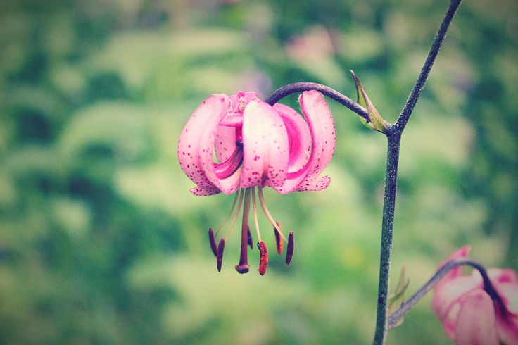 Turk's cap lily - null