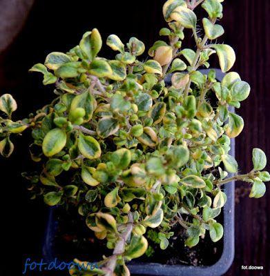 Moje Małe Czarowanie: Tymianek pospolity - thymus vulgaris