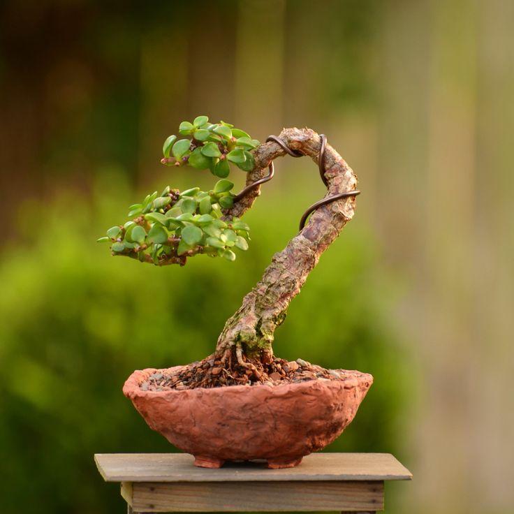Portulacaria afra (dwarf Jade) bonsai tree in a handmade pot by Little Jade bonsai.