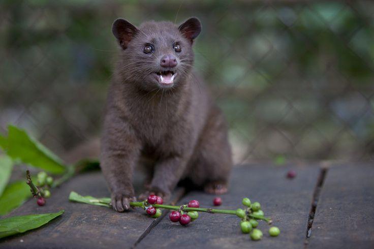 El Kopi Luwak: café gourmet hecho del excremento de rara especie de mamífero