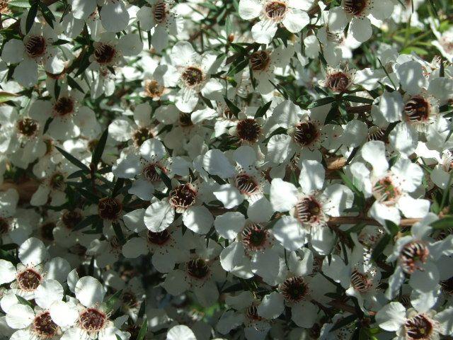 Manuka - Tea tree (Leptospermum scoparium)