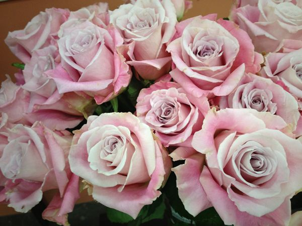 Faith rose from South America | Roses | Pinterest | South ...