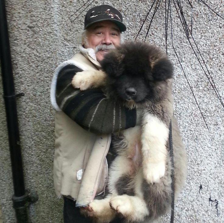 25 Best Akitas Images On Pinterest Akita Dog American