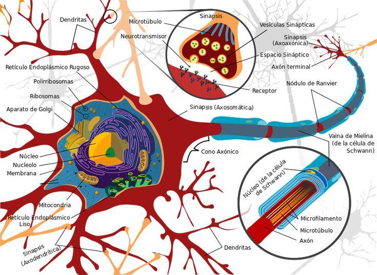Partes de una neurona.  Las neuronas presentan unas características morfológicas típicas que sustentan sus funciones: un cuerpo celular, llamado soma o «pericarion» central; una o varias prolongaciones cortas que generalmente transmiten impulsos hacia el soma celular, denominadas dendritas; y una prolongación larga, denominada axón o «cilindroeje», que conduce los impulsos desde el soma hacia otra neurona u órgano diana.