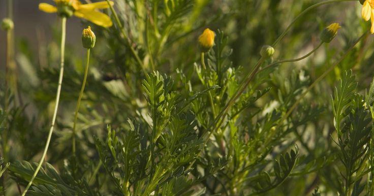 Tipos de arbustos de margarida. Jardins com arbustos de flores parecem brilhantes e cheios de vida. Esses arbustos atraem insetos úteis, como abelhas e borboletas, assim como beija-flores ao seu jardim. Arbustos com flores como a margarida não só possuem mais tempo com flores do que arbustos sazonais, mas também produzem folhagens atraentes que geralmente são usadas como flores ...