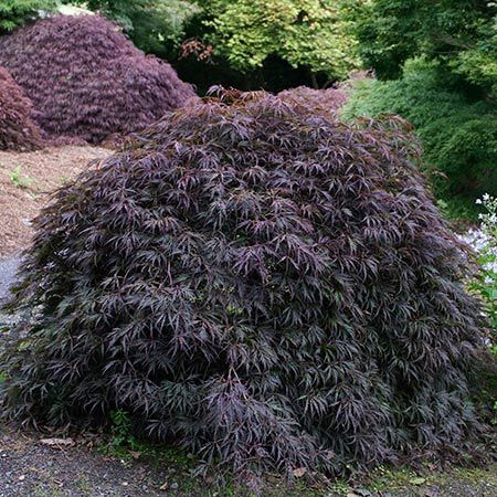 A Showpiece in the Garden - Here's why you need this award-winning tree :  Incredible red foliage Cold hardy Japanese Maple variety Vigorous grower Holds color well throughout the season  The Japanese Maple That Withstands the Test of Time Dating back more than three hundred years, the Tamukeyama Japanese Maple has...