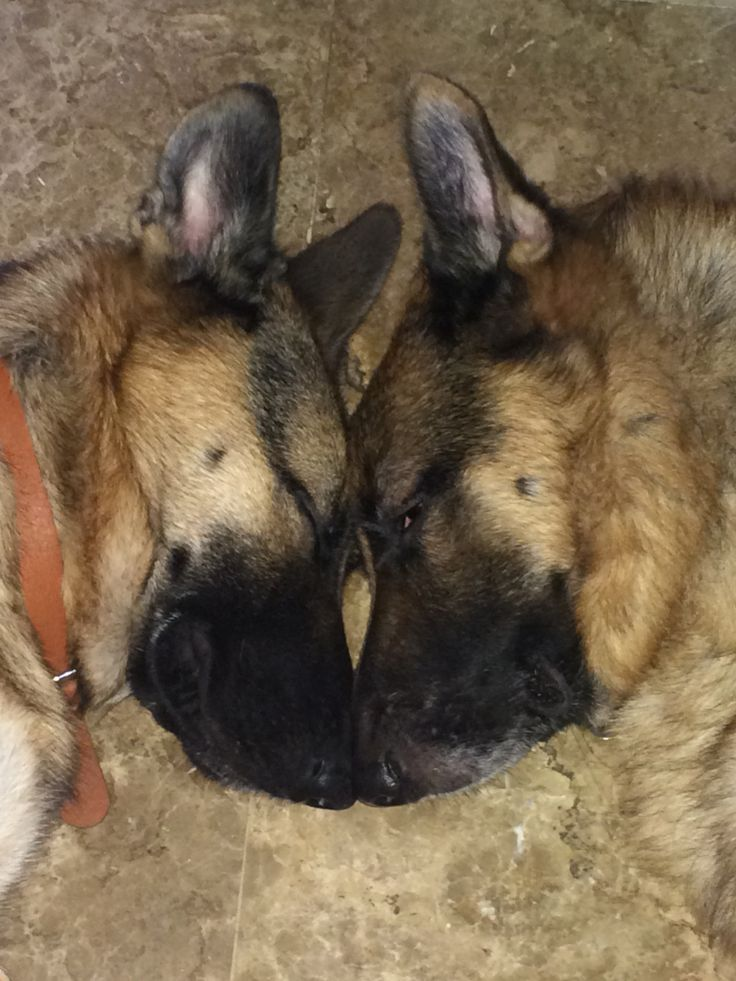 GSDs-Steffi & Hadrian... Head to head and heart to heart❤️
