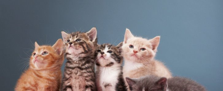 persian cats for sale in pa