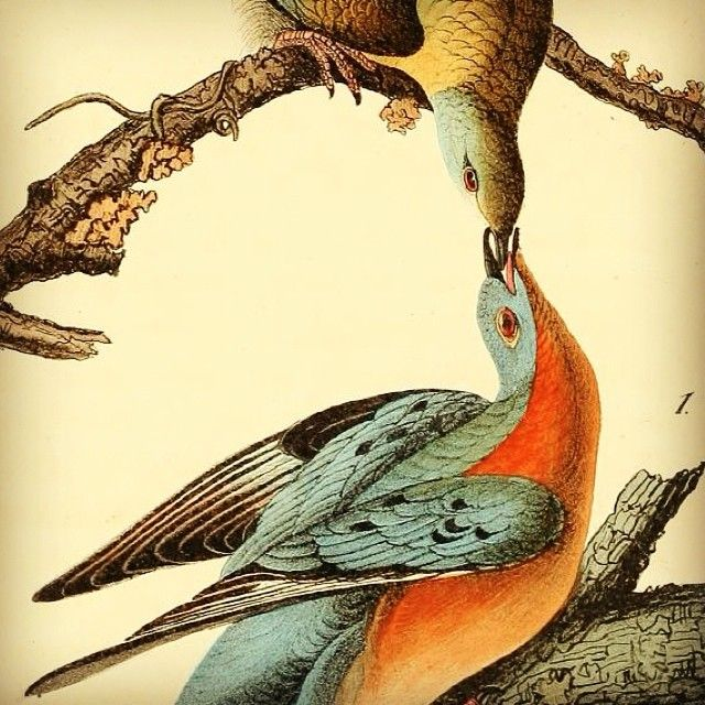 Illustration of Passenger Pigeons from Audubon's 'The Birds of America', 1842.