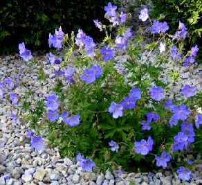 "Cranesbill 'Jonson's Blue' by TOG Common Name:  Hardy Geranium, Geranium himalayense 'Johnson's Blue' Plant Type:  Herbaceous perennial Height:  15-18"" Spread:  24-36"" Sun/Shade Requirements:  Full sun to part sun Water Requirements:  Average water needs, prefers a well drained soil.  Prefers weekly watering, more in extreme heat."