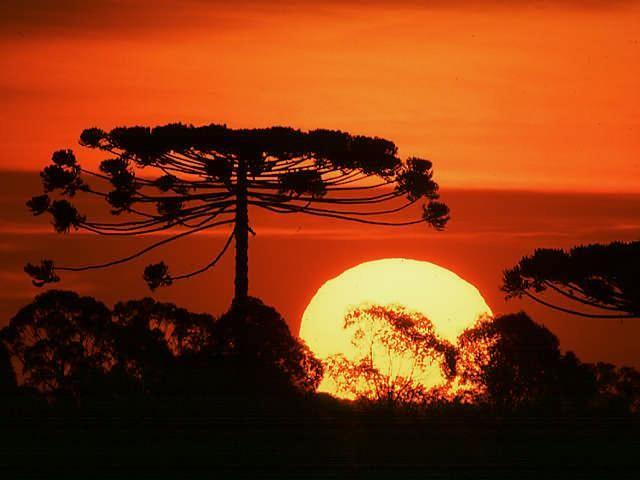 araucaria pine ( Araucaria angustifolia )