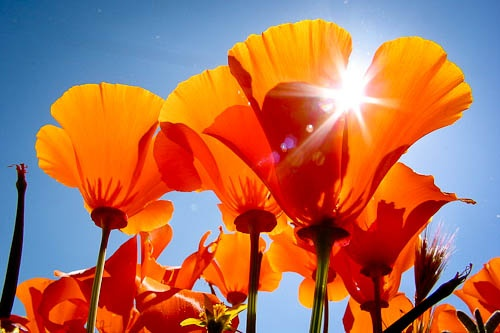 By Rob Sheppard via Pixiq.com: Flowers Gardens, California Poppies, Amazing Flowers, California Dreamin, Beautiful Places, Beautiful Flowers, Beautiful Things, Flowing Flowers, Flowers Photo