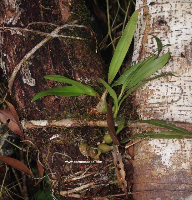 Tumbuhan Ornamental Hutan Rawa Uncak Kapuas - BorneoScape