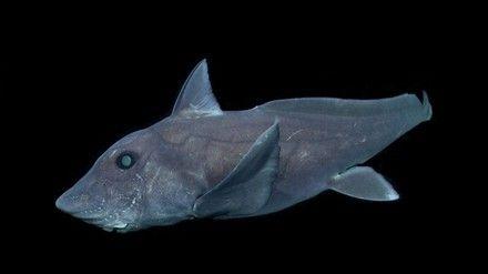 L'un des poissons les plus étranges au monde a été filmé pour la première fois  Preview Image