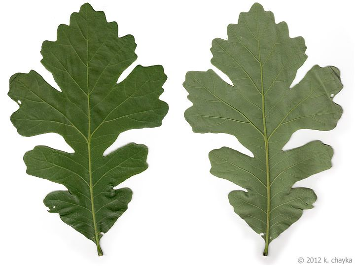 10 Of The Most Common Hardwood Trees In North America Camo Trading Plant Leaves Burr Oak Leaves