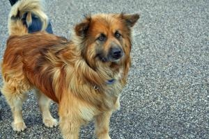 Chewee is an adoptable Keeshond Dog in Racine, WI. Chewee is only about 40 pounds of I sure like you a lot. He seems to be a Keeshound, Chow, Beagle, Shepherdmix but of course without a DNA its an...