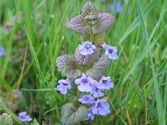 Jarní bylinky v kuchyni - Popenec břečťanovitý (Glechoma hederacea)