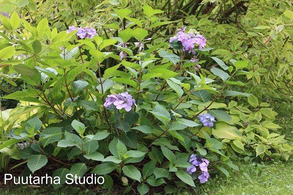 Kuvassa Endless_summer_hortensiat_twist-n-_shout. Meillä on isoista hortensioista aitaa, ja niiden alla kukkii tällä hetkellä scillaa mattona, kun se lakastuu, esiin tulee kuunliljoja, jotka jäävät mukavasti kesemmällä varjoon hortensioiden alle, mutta samalla peittävät hortensioiden paksut puuvarret. Pensaat noin parikymppiset ja upeat - leikkaan kukkivan kasvuston aina näin keväällä lyhyeksi ja tanakaksi.