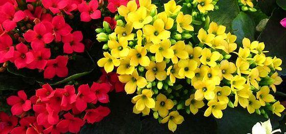 Cvece Za Baste Dvoriste Sobe Cvece Kalanhoja Nega Kalanchoe Flower Garden Flowers