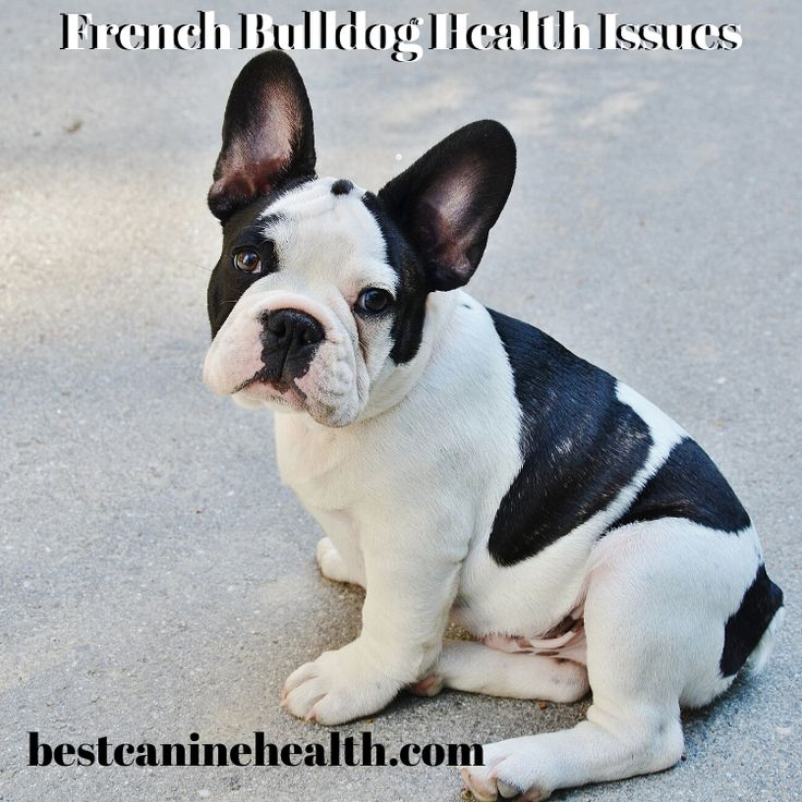 French bulldog health issues best canine health and care