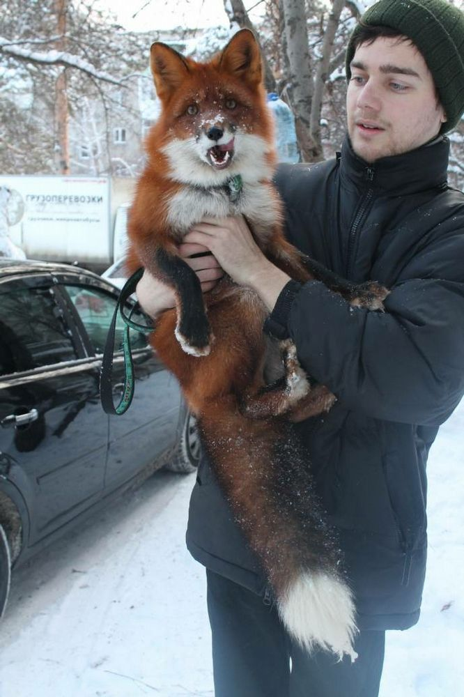 A research group in russia spent the last 20-30 years breeding foxes to remove the wild genes and make purely domestic foxes. To fund their continuing research, they are selling these foxes as house pets.