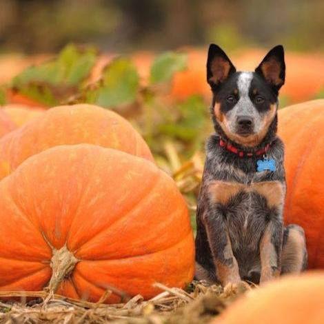 Cattle dog in a pumpkin patch | dogs | Dogs, Australian ...
