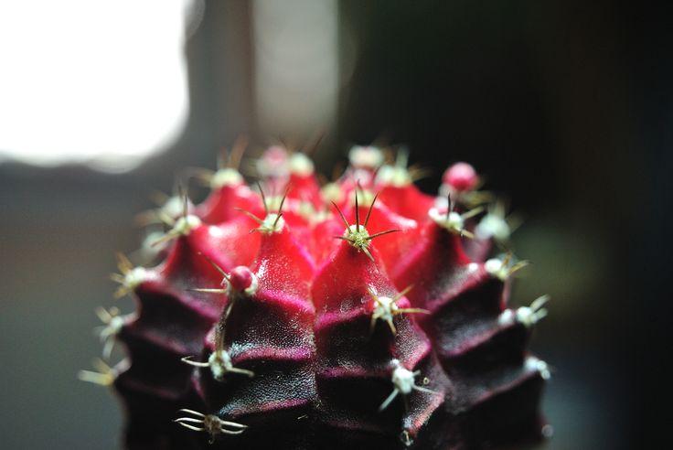 Gymnocalycium mihanovichii f. rubra HIBOTAN