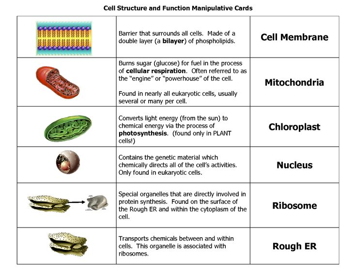 Plant And Animal Cell Parts Definitions For Kids