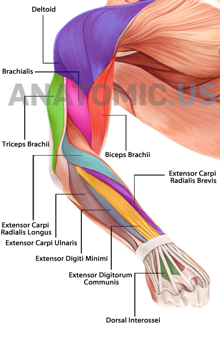 Human Arm Muscles Labeled