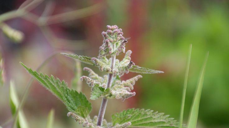 Det er mange grunner til å irritere seg over brennesle i hagen. Men det forhatte ugresset kan også være nyttig.