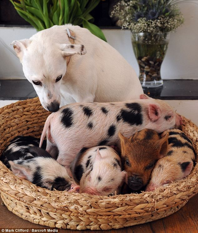 Mama dog with baby piglets