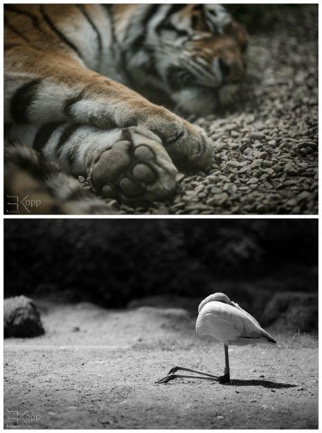 sieste du tigre vue par le blog A la Conquête de l'Est