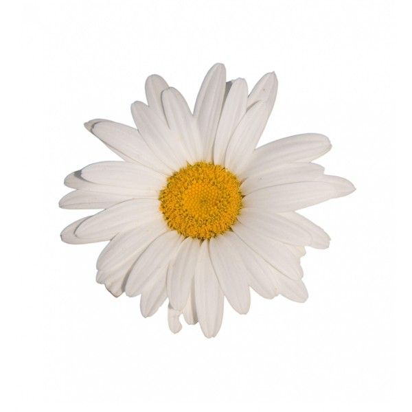 Daisy Flower White Background ❤ liked on Polyvore featuring flowers, fillers, backgrounds, nature, phrase, quotes, saying and text