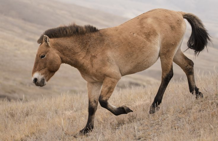 Today I wanted to introduce you to the Przewalski Horse in Mongolia