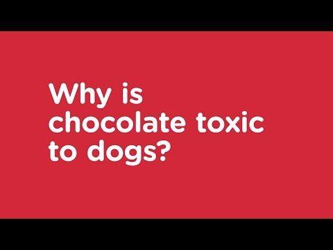 My Dog Has Eaten Chocolate | Advice If Your Dog Ate Chocolate | VetsNow