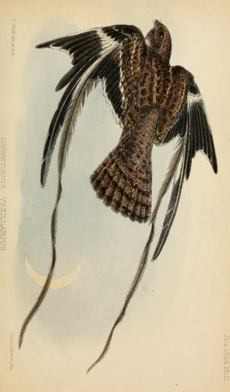 Pennant-winged nightjar, Ibis (quarterly journal of the British Ornithologists' Union), Vol. VI, 1864.