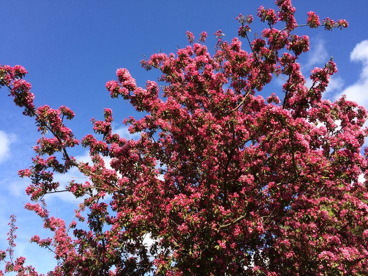 Bloemenboom pink