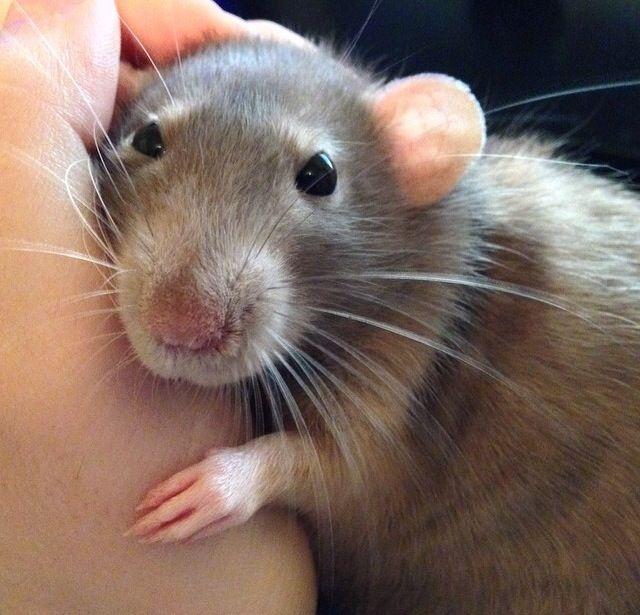 how to keep a pet rat