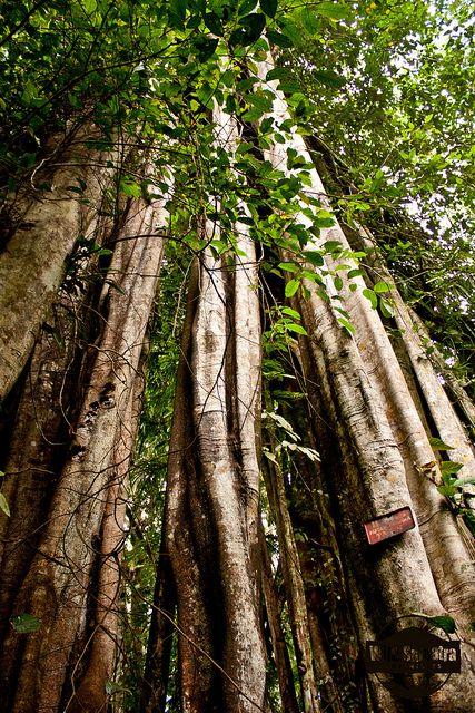 Stangler Fig, Kerinci Seblat National Park