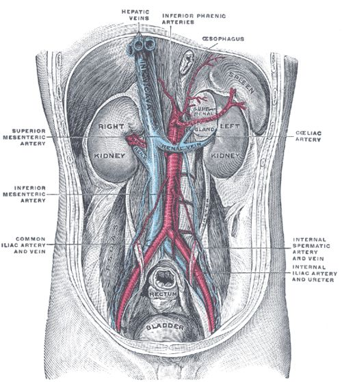 Posterior abdominal wall, after removal of the peritoneum,...