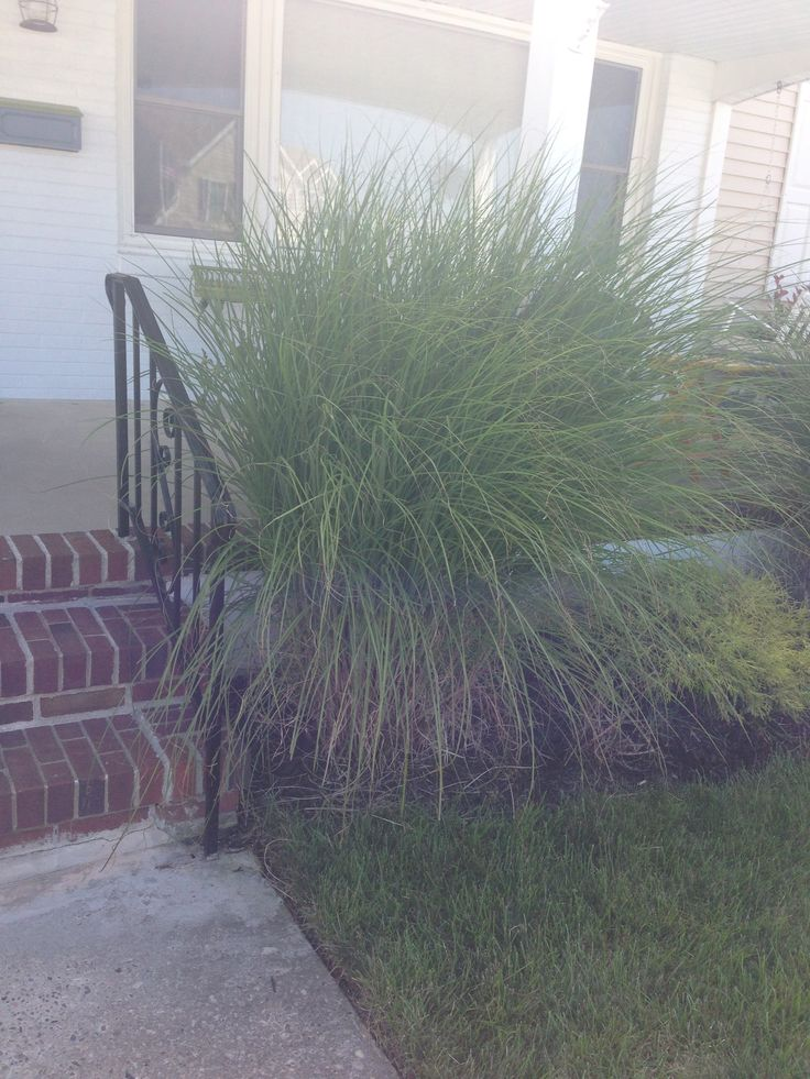 17 best images about shore landscaping on pinterest for Seagrass for landscaping