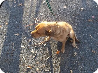 Camden, DE - Shar Pei/Labrador Retriever Mix. Meet Sugar, a dog for adoption. http://www.adoptapet.com/pet/12178006-camden-delaware-shar-pei-mix