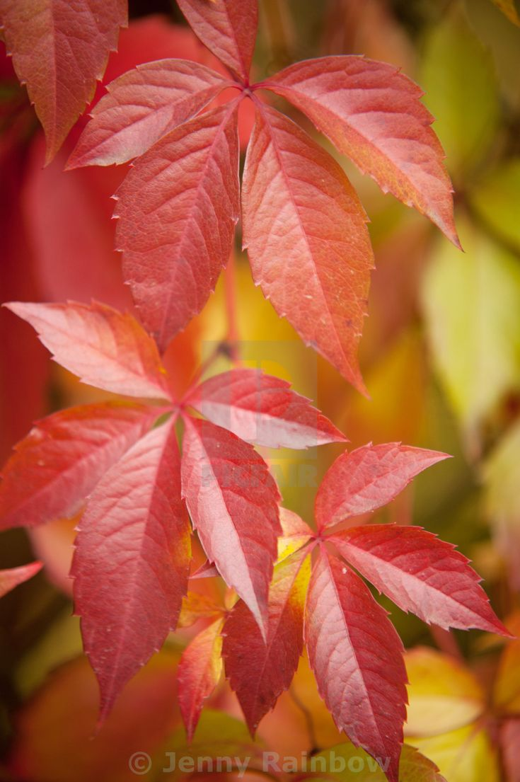 """Red leaves of whild grape in autumn time"" by Jenny Rainbow - £10"