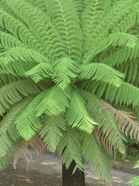 Common Tree Fern, Soft Tree Fern, Woolly Tree Fern - Dicksonia antarctica