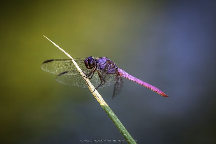 """The Dragonfly"" by AniGold, dragonfly, nature, wildlife, macro, photography"