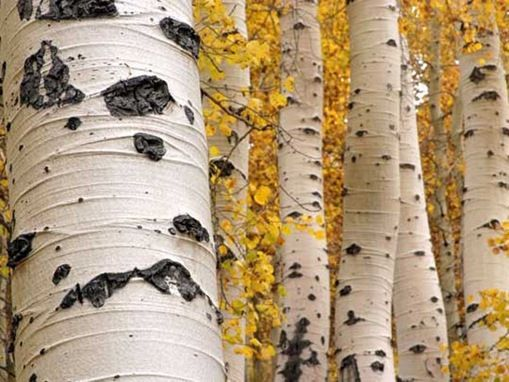 Aspens have so much character... 2 of these from Maroon Bells