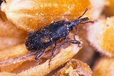 Rice weevil adult