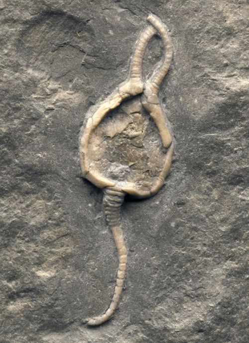 Killer Pleurocystites (Cystoid) - Brechin, OntarioPleurocystites (meaning rib bag) is a genus of rhombiferan echinoderm - and a cystoid that lived in the Late Ordovician. Fossil Pleurocystites sp. are known from Europe and North America. Pleurocystites squamosa grew to a height of 6 centimeters and fed on tiny, floating particles. The most distinctive feature of cystoids was the presence of a number of pores in the rigid skeleton encasing the body. These were most likely respiratory in…