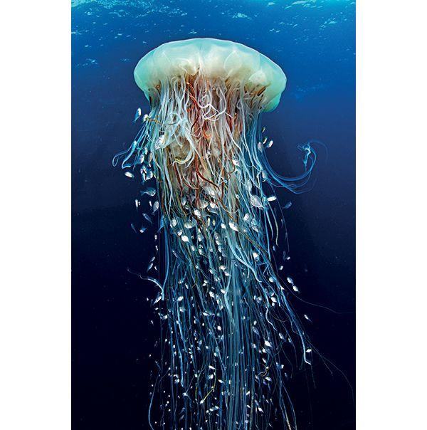 Gabon Fotografia di Enric Sala, National Geographic  Una medusa criniera di leone è letale per la sua preda, ma offre riparo a giovani pesci.